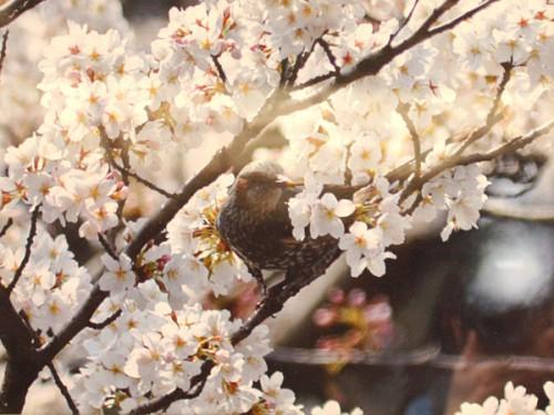 桜の木で遊ぶひよどりIMG_6592