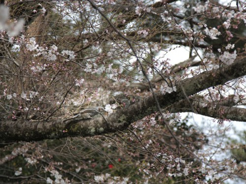 桜をついばむ鳥_MG_1252