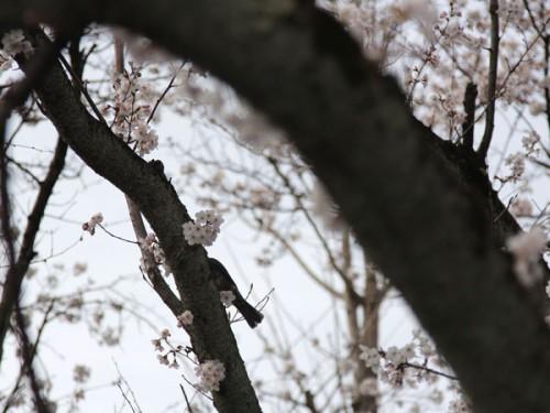 桜と鳥_MG_1257