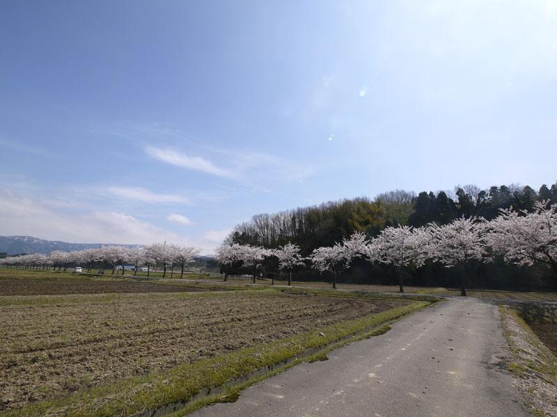 桜道P1160117