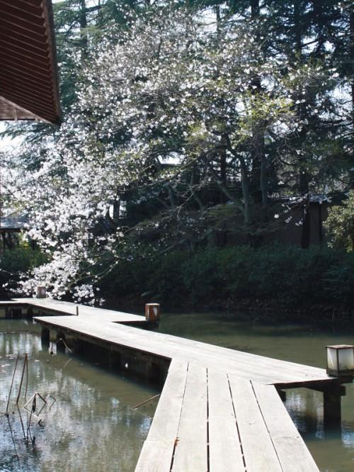 桜_八つ橋奥からIMG_1681