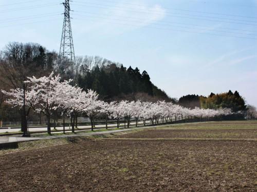 桜道IMG_1741