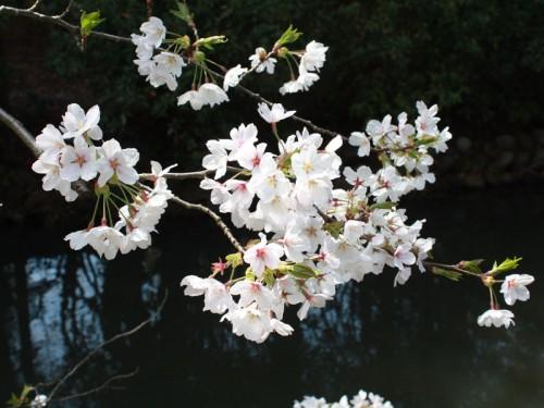 桜池IMG_1693