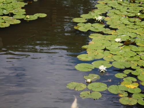睡蓮と鯉IMG_3236