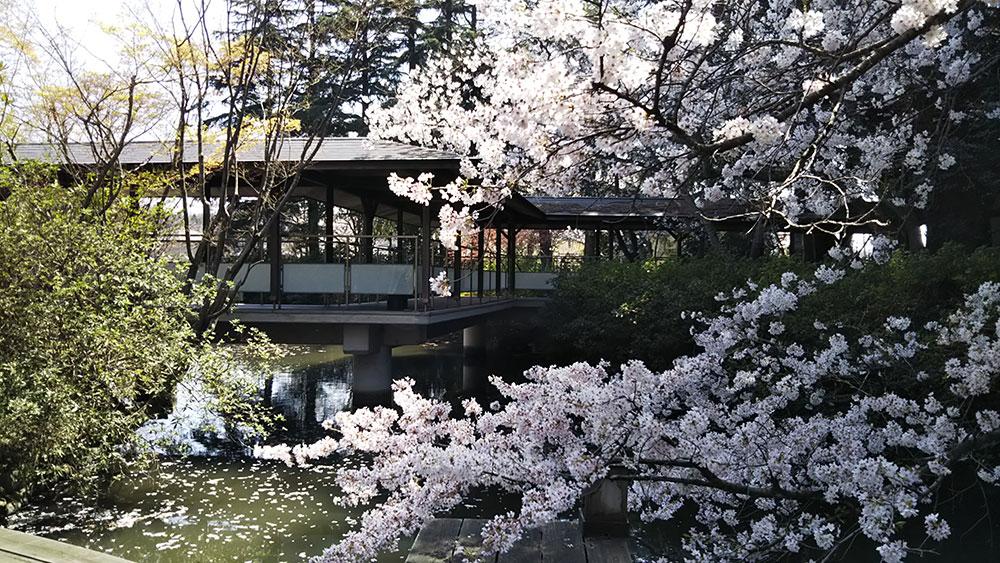 桜渡り廊下DSC_0132